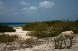 Europeans brought domestic animals including donkeys to Bonaire. They were all replaced by machinery and many now roam the island unwanted
