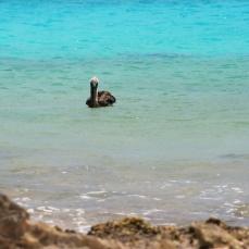 Contented pelican